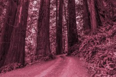 A Drive Through Redwood Forest by  Marlene Reimer