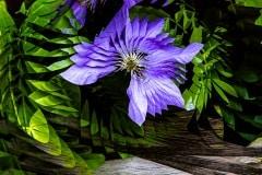 Clematis Pinwheel by  Mel Baly