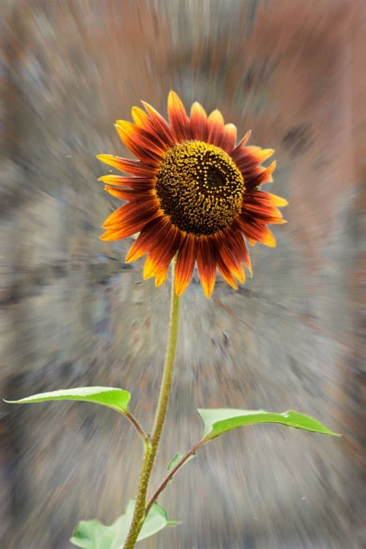 Sunflower by  Mel Baly
