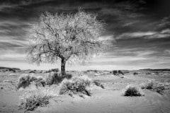 The Desert Tree by  Kasandra Sproson