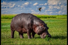 Lonely Hippo by Lois Wittenberg