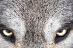 Grey Wolf by Jim Hatch