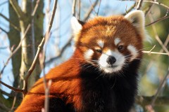 Red Panda by Michele Broadfoot