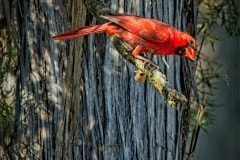 Cardinal About To Eat Lunch by Bo Wiedemann