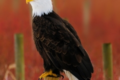 Beautiful Eagle In Winter by Michele Broadfoot