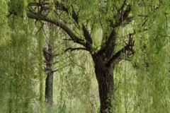 Willows by Kathy Neudorf