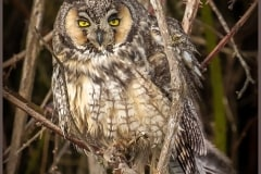 Long-eared Owl Of Boundary Bay by  Michele Broadfoot