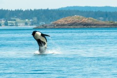 Orca Magic by  Michele Broadfoot