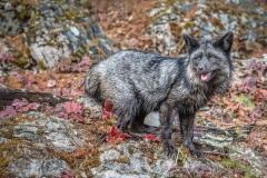 Fall Fox by Liz Lynch