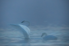 Dance Of The Swans by Carla Hamilton