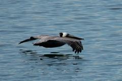 Pelican by Sheldon Bradley