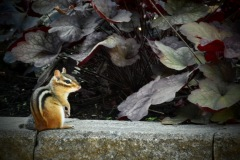 A Chipmunk by  John Fox