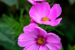 Pink Cosmos by  Mel Baly