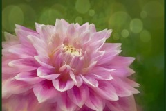 Dahlia Dreaming by  Lois Wittenberg