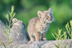 Baby Bobcat by Liz Lynch
