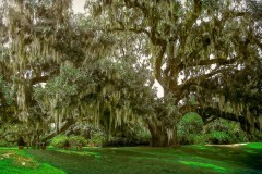 2000 Old Tree In New Orlean by  Phil Backman