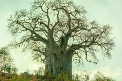 Baobab Tree by  Tom Truss