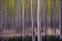 Birch Trees by  Jim Hatch